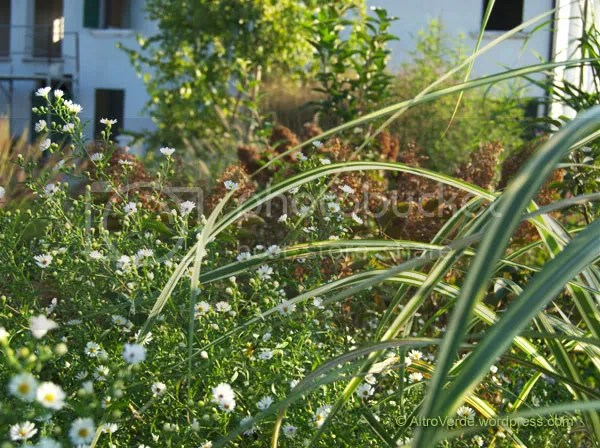 Miscanthus 'Cabaret' with white asters