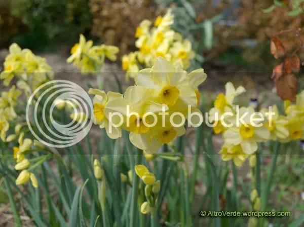 Narcissus 'Canary Bird'
