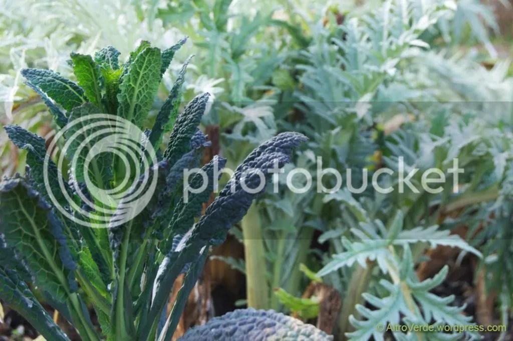 artichoke and cabbage 'Nero di Toscana'