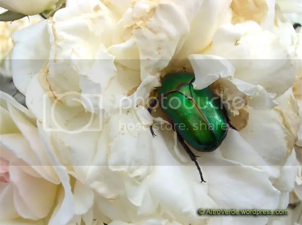 A cetonia raping a rose