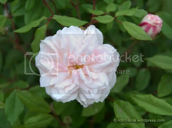 rosa chinensis Odorata