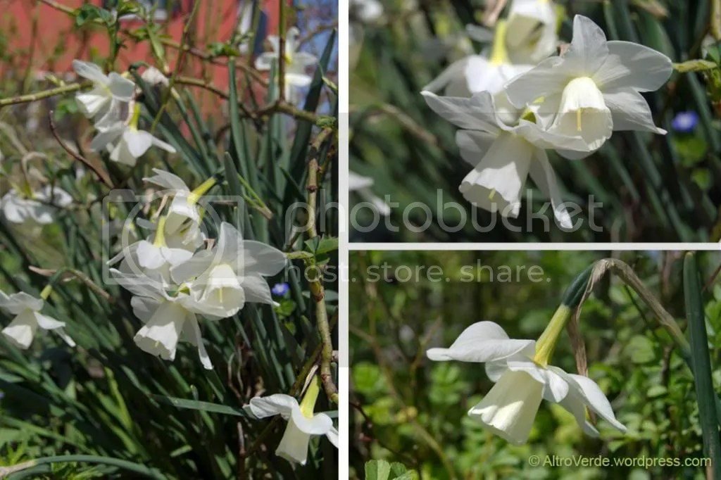 Narcissus Curlew