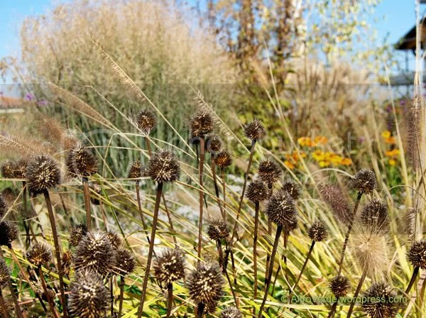 Viewed from another angle the mix totally changes and the only plant left from above is helenium 'Waldtraut', here is the fading (and recently cut back a little) pennisetum 'Magic' mingling with echinacea purpurea seed heads
