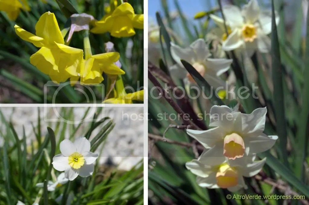 Top left narcissus Hillstar, right n. Bellsong and n. Minnow on bottom right