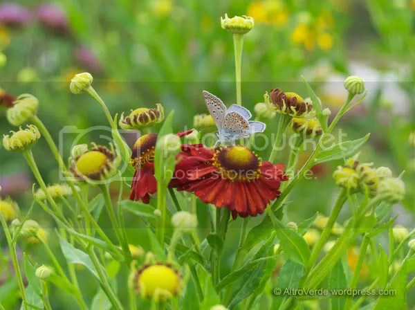 I wish this small light blue butterfly stayed there forever, she's exactly the color combination I need with this helenium 'Indianersommer'
