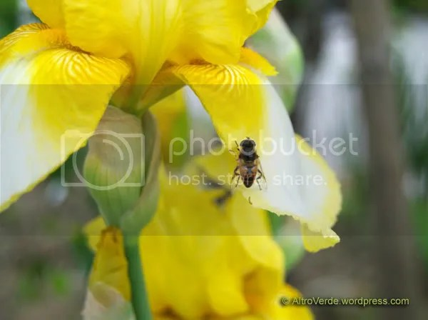 Fly, disguised like a bee, on unknown bearded iris (she probably wants to surprise it)