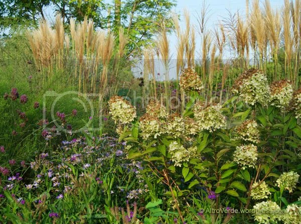 Hydrangea paniculata 'Limelight' (I reckon it is the best variety for full sun) with aster x frikartii 'Monch' and a pretty wide miscanthus purpurascens background