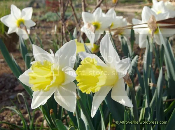 Narcissus Mount Hood