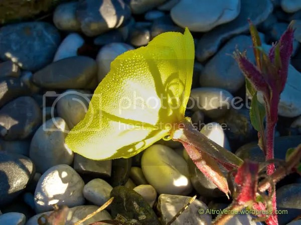 Oenothera. Well this is in flower whenever she wants...