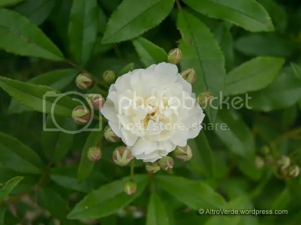 Rosa banksiae Purezza