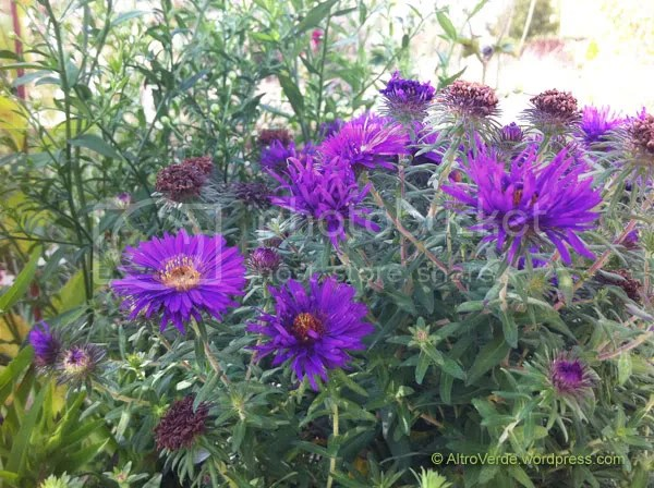 Aster novi-belgii 'Purple Dome' is rather short (about 40-50cm), bushy and with these shocking purple flowers