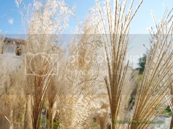 Miscanthus purpurascens, a close-up of fading and new flowers