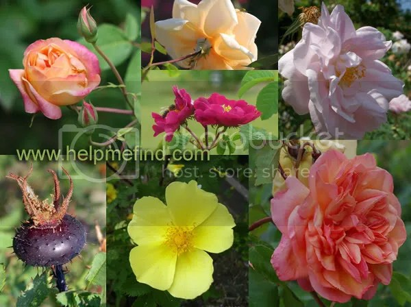Some of the roses I've just planted. Pics have been taken from www.helpmefind.com/roses