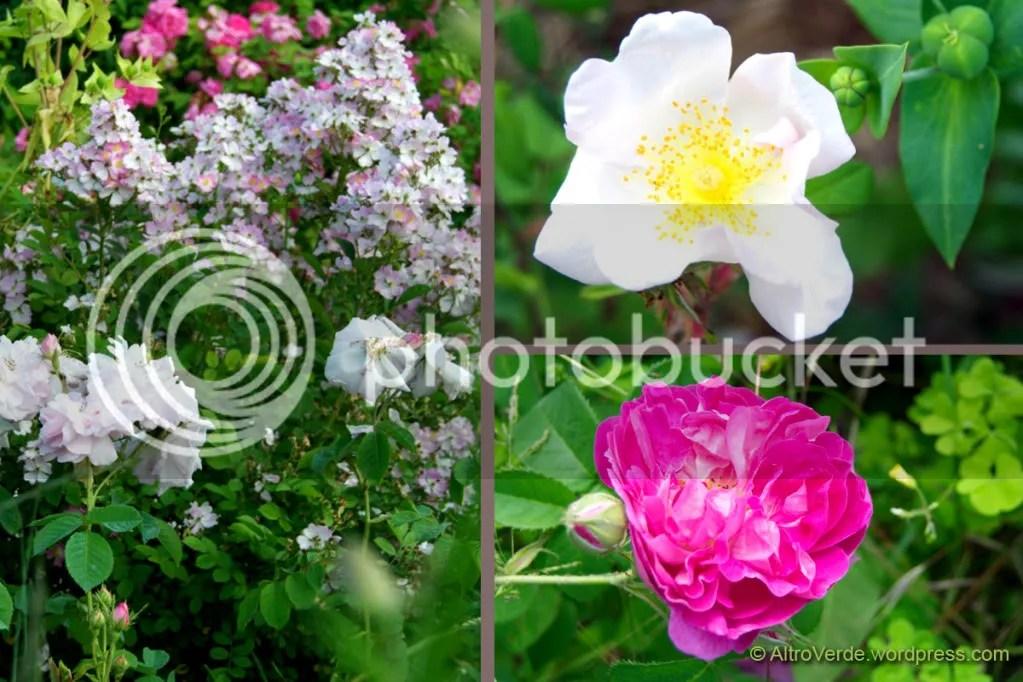Clockwise: rosa Celsiana with rosa chinensis Angel Wings, rosa Sancta, rosa gallica Lord Scarman