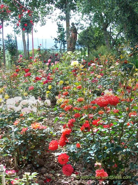 One of the several HT rose beds (I know: shocking colours!)
