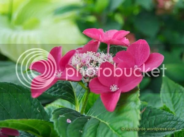 Hydrangea macrophylla 'Rotschwanz'