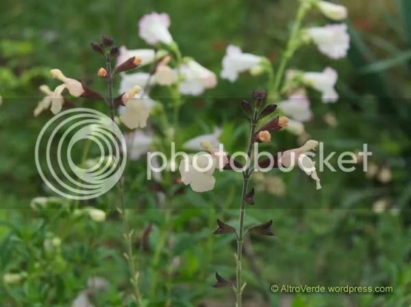 Salvia 'Navajo'