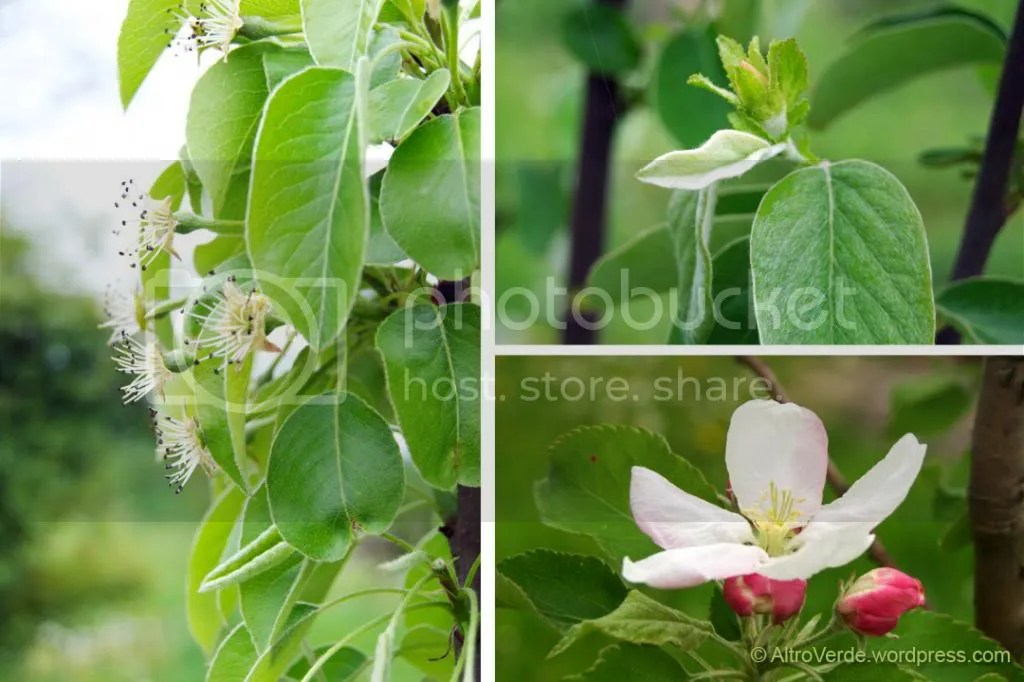 Left: San Pietro's pear, top right: quince apple bud, bottom right: apple 'Granny Smith' in flower