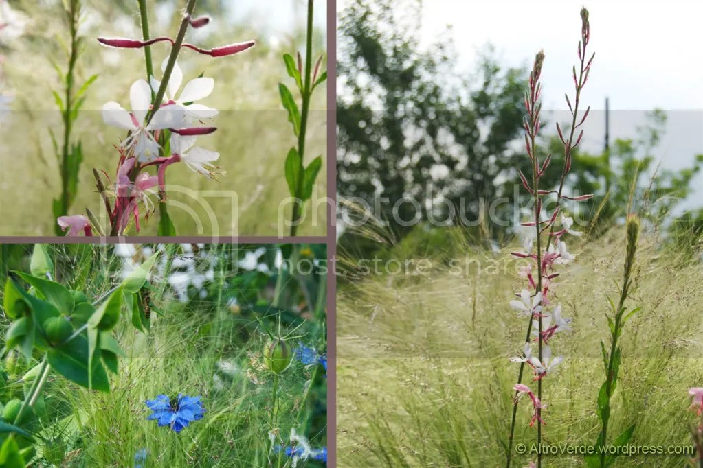 Stipa tenuissima is a perfect backdrop for plants with a neat form like gaura lindheimeri or nigella damascena