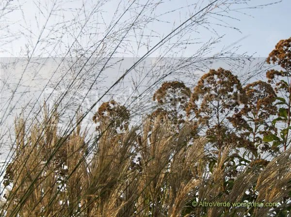 Molinia 'Transparent' sets a watermark on miscanthus sinensis 'Ferne Osten' and the seed heads of eupatorium atropurpureum