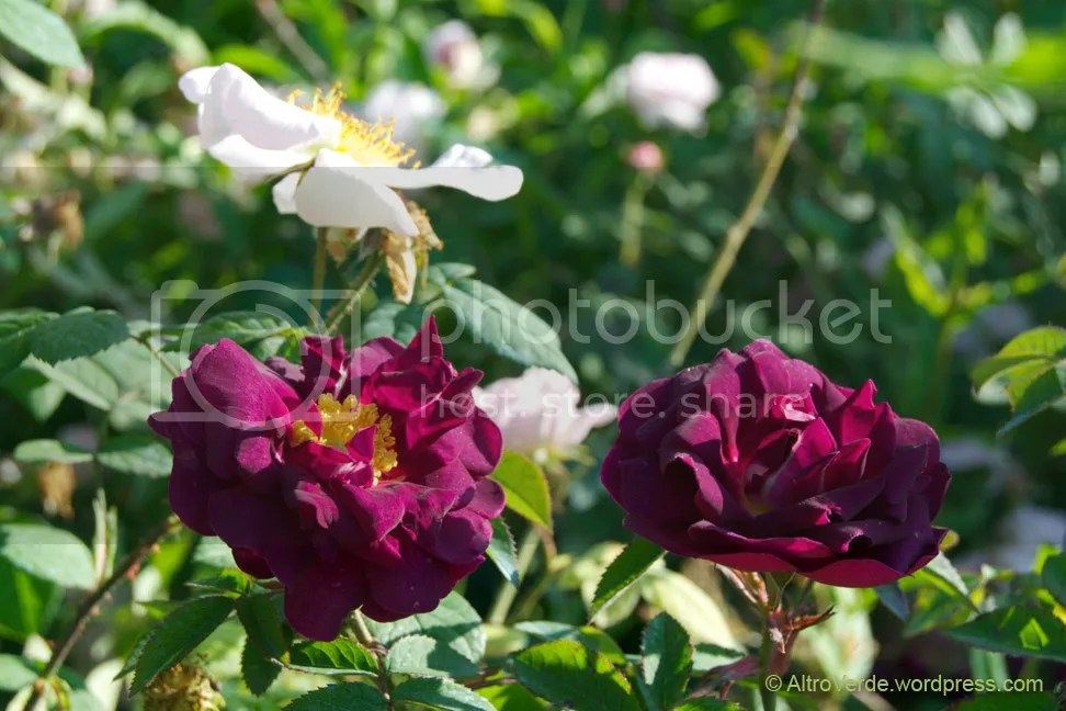 Rosa Sancta and rosa Tuscany