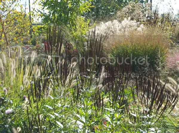 Veronicastrum album has become even more interesting with its maroon seedheads, textures in the grass garden are very complex even under this still strong light