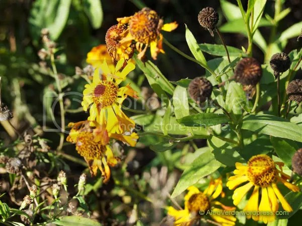 Helenium Waldtraut, planted this year, it has been flowering since late july, the first one of all my heleniums and apparently the last one too! Flowers are paler and paler though.