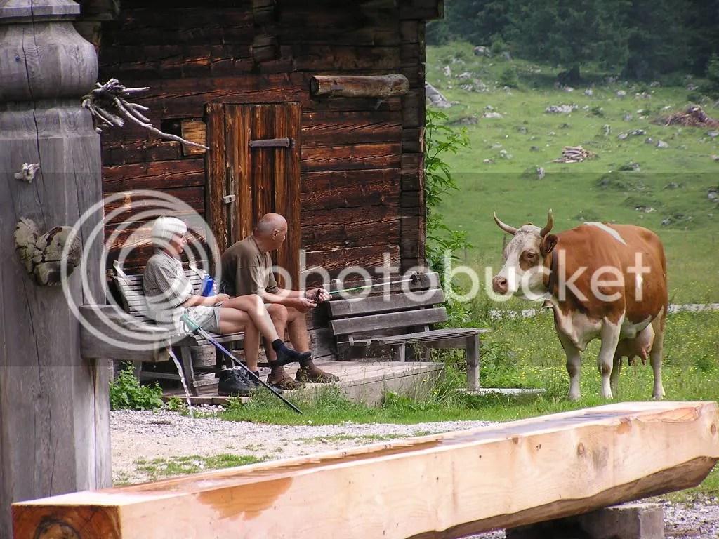 Cow visit