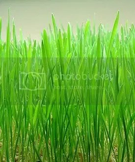 wheat grass photo: Wheat grass Wheatgrass.jpg