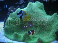 new carpet anemone | Saltwaterfish.com Forums for Fish Lovers!