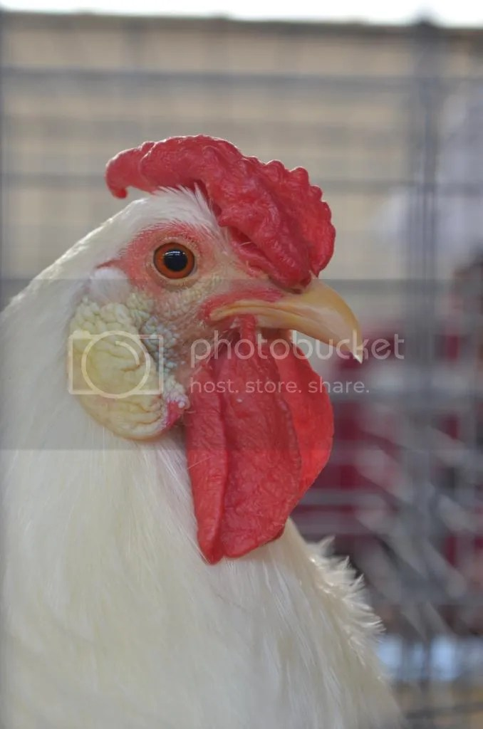 Cockerel Doggerel