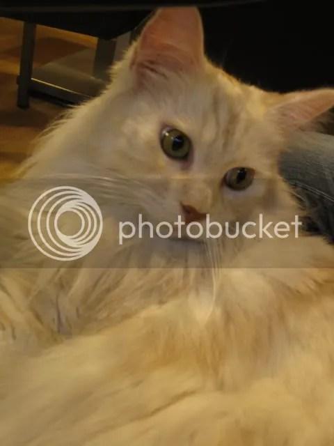非食記~溫柔巨貓-緬因貓包圍的元氣貓餐廳 @ 喵主人與喵玩具的邂逅 :: 痞客邦