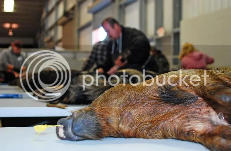 Volunteers processed 267 pigs.