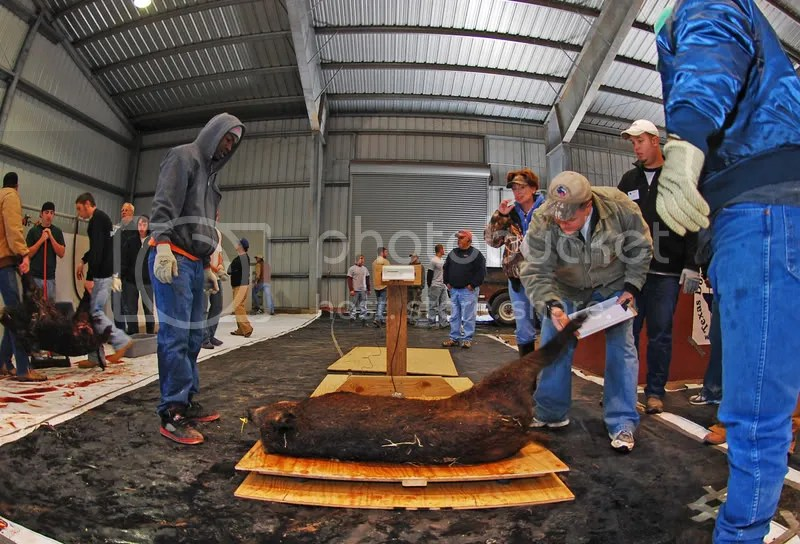 Hogs were weighed and inspected before being processed for donation to Hunters' Harvest.