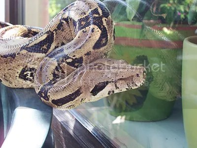 Mainland Colombian Boa, showing typical coloration