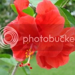 Red Layered Hibiscus