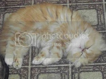 The red male Persian can often be seen in this sleeping position.