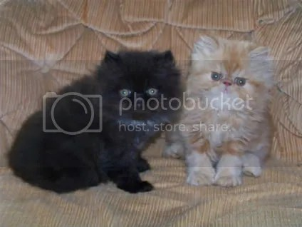 Brother and Sister Together!  ElCloud Persian Kittens For Sale, $325 each.  April 2009.