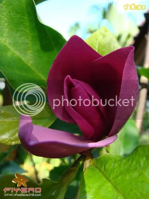 จำปีแดง Magnolia x soulangeana