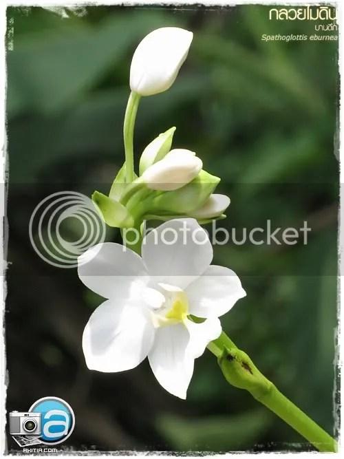 กล้วยไม้ดิน, บานดึก, Spathoglottis-eburnea