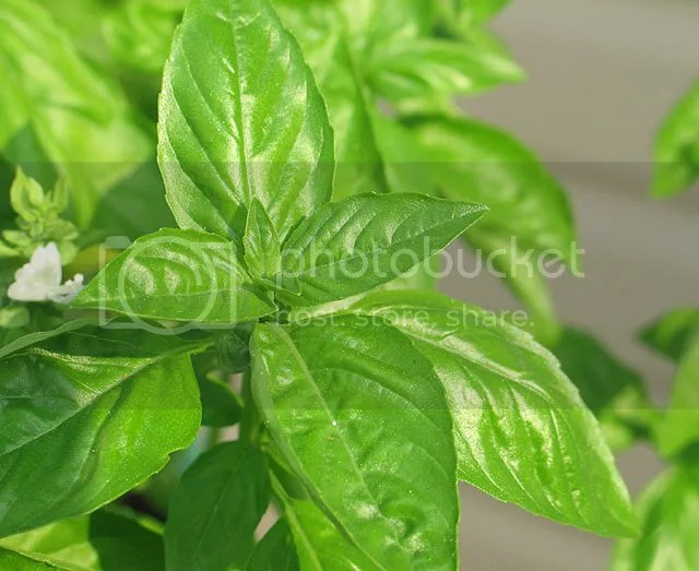 Basil Pictures, Images and Photos