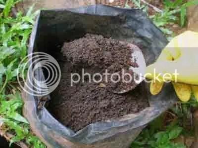 Kompos dari dalam tong dipindah ke dalam polybag agar rapi dan mudah diambil.