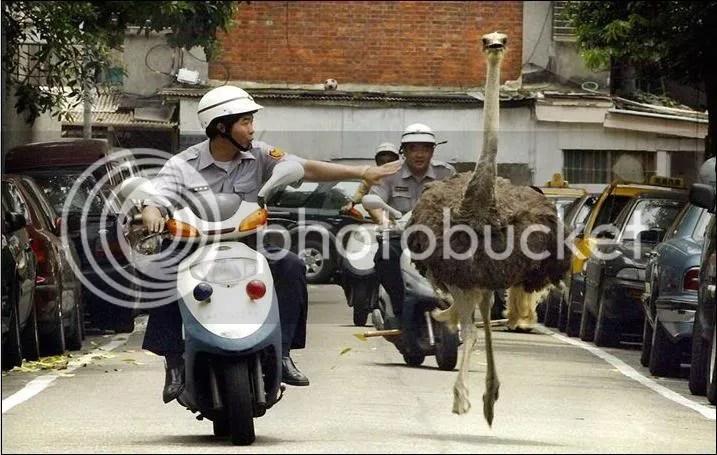 cop ostrich
