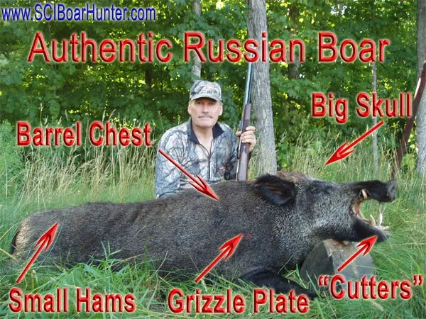 Giant Russian Boars