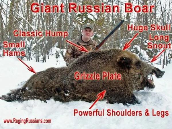 Authentic Russian Boar