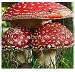 jamur beracun, keinginan daging, dosa