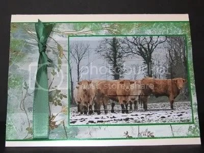 winter highland cattle