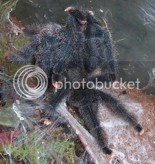 avicularia american tarantula society