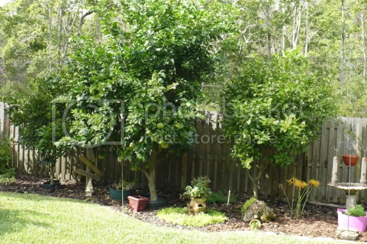 Backyard with three citrus trees