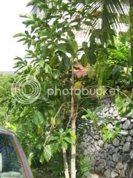 pokok mengkudu